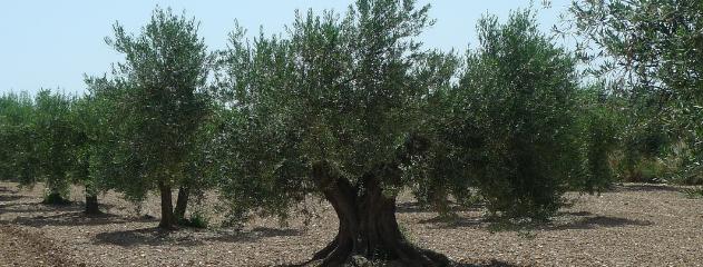 Olivar de Cascante